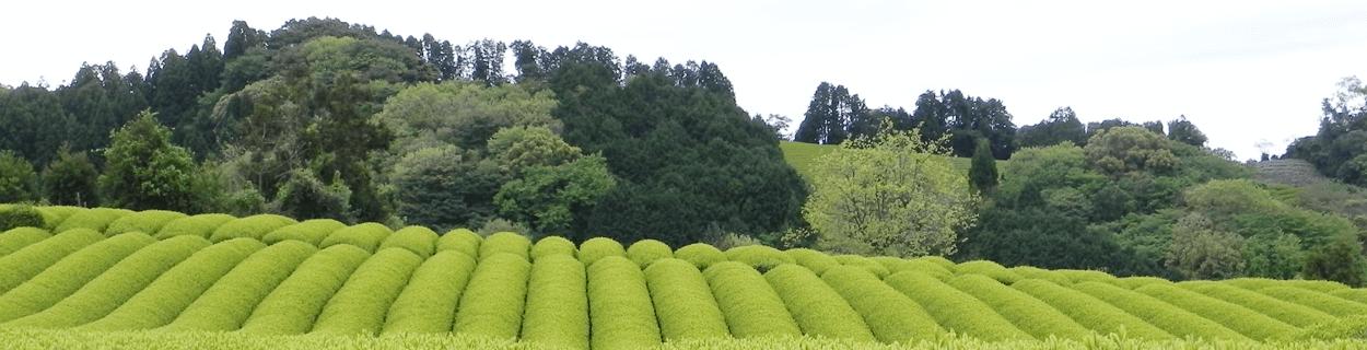 Weitere Teesorten in Bio-Qualität