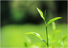 Teepflanze Grüner Tee